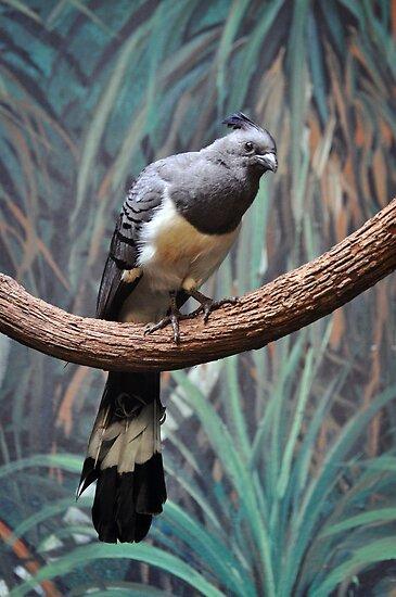 White-bellied Go-away-bird by venny