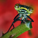 Damselfly portrait by jimmy hoffman