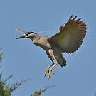 Black Crowned Night Heron In Flight by Kathy Baccari