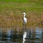 White Great Egret by arjurahman