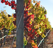 Pinot Noir Grapes at Cuvaison Winery, Napa, CA by Nina Brandin