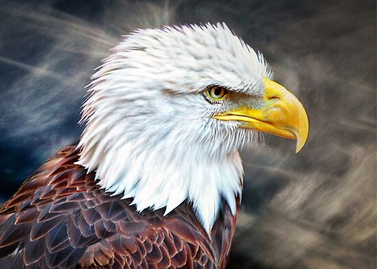 Bald Eagle by venny