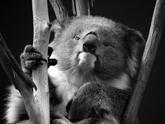Koala 1 B&W by photonista