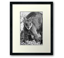 Wallaby. Framed Print