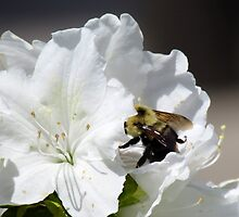 Bee at work by Patricia Ledbetter
