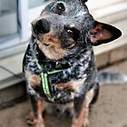 Jax the Cattle Dog by SamTheCowdog