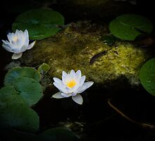 Water Lilies 1 by mlphoto