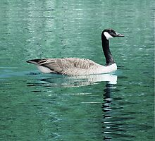 Canada Goose On Shimmering, Shimmering Water by Jean Gregory  Evans
