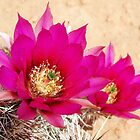 Pink Desert Cactus Flowers by Jessica Shields