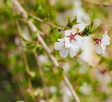 Weeping Cherry by Elizabeth Thomas