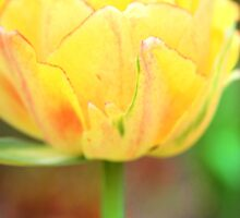 a single yellow tulip by Paula Bielnicka