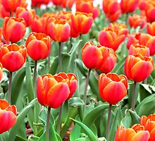 a field of orange tulips by Paula Bielnicka