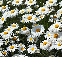 Field of Daisies by Douglas M. Paine