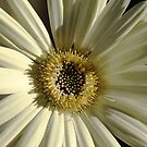 Gerbera In The Evening by Debbie Oppermann