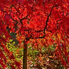 Autumn red - Mount Macedon by Hans Kawitzki