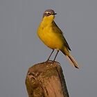 Yellow Wagtail - I by Peter Wiggerman