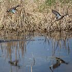 Pair of Blue-winged Teal by Thomas Young