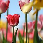 Spring Tulips by coldairballoon