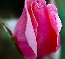 Dreamy rose by pcfyi
