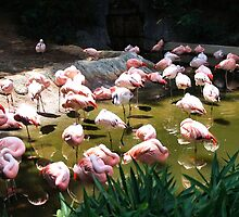 Flamingos Wading by RickDavis
