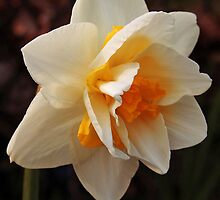 Double Daffodil Layers by Linda  Makiej