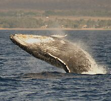 Humpback Whales In Hawaii by Katie Grove-Velasquez