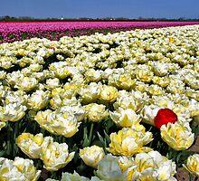 More tulips... by Adri  Padmos