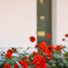 Red Flowers by mlphoto