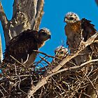 050413 Red Tailed Hawk Chicks by Marvin Collins