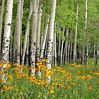 Aspen Grove and Wildflower Meadow by Matt Tilghman