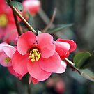 Quince Flowers by Linda  Makiej