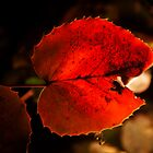 red leaf: backlit by angeldragon069