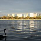 Black Swan in Albert Park, Melbourne by nicomelbourne