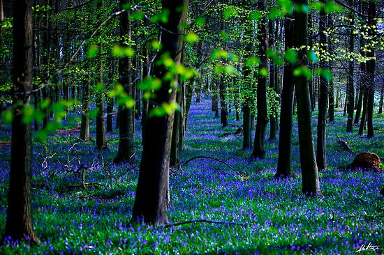 Bluebell Wood by redtree