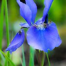 Blue Iris by Marian Grayson