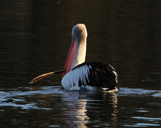 I am going to take my feather and float home  Pelican by Kym Bradley