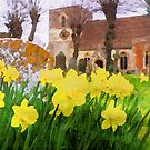 Spring Daffodils England by mlphoto