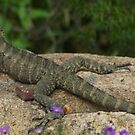 Australian Water Dragon at home resting on a garden rock. by Graeme Rouillon