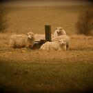 The Sheep of Salisbury Plain by Kent Burton