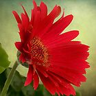 Gerbera Daisy .•*¨`*•✿ Red by Penny Odom