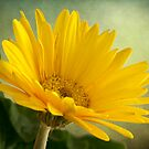 Gerbera Daisy .•*¨`*•✿ Yellow  by Penny Odom