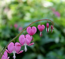Bleeding Heart by Kelly Morris