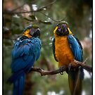 """Macaws #2"" by Bob Adams"