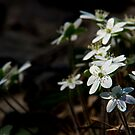 Hepatica by Michael Cummings
