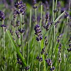 Lavender by Heather Renney