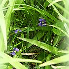 Purple Violets hiding in Grass by TrendleEllwood