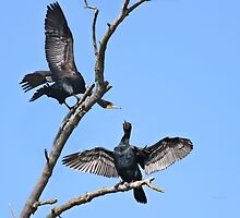 Courting cormorants by Heather King