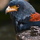 Beautiful Bateleur by Krys Bailey