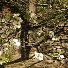 White Dogwood Blossoms by Margie Avellino