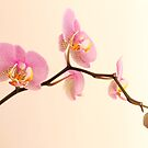 Orchid Flower by noomrevlis